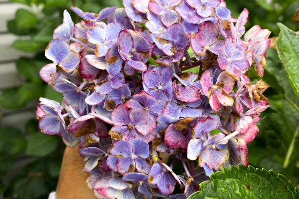 photo of a hydrangea